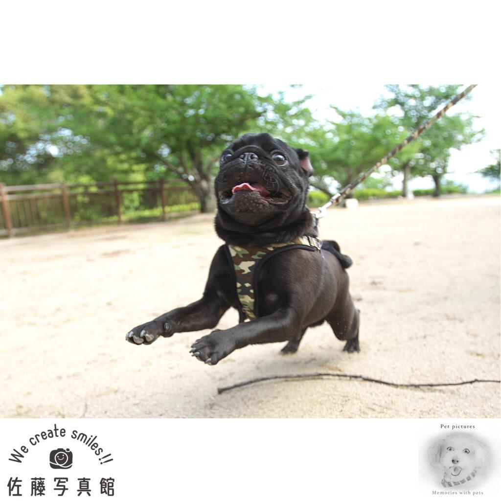 犬 わんこ ペット ロケ撮影 公園 パグ